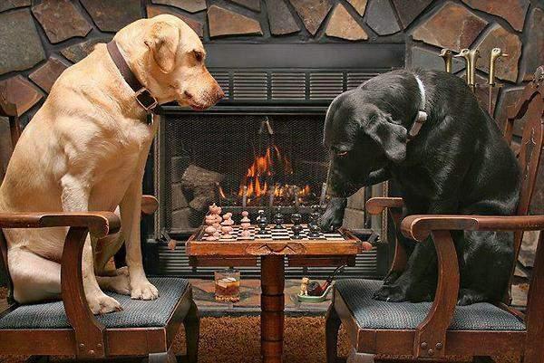 chiens-qui-jouent-aux-echecs-